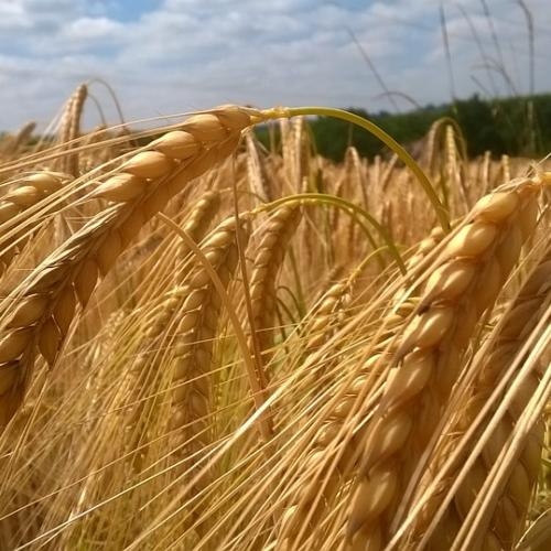 Camp de collita de cereals